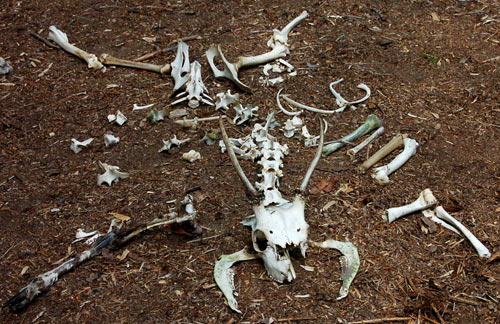 Deer remains found on Woodlore's Woodsense Tracking course
