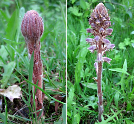 Common Broomrape (Orobanche minor)