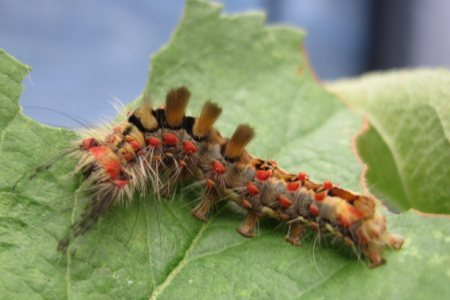 Larvae of a vapourer moth