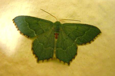 Common Emerald Moth