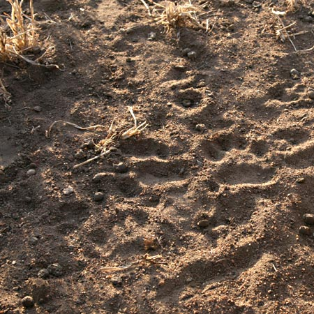 The animal print found in Eastern Africa, correctly identified as that of a hyena