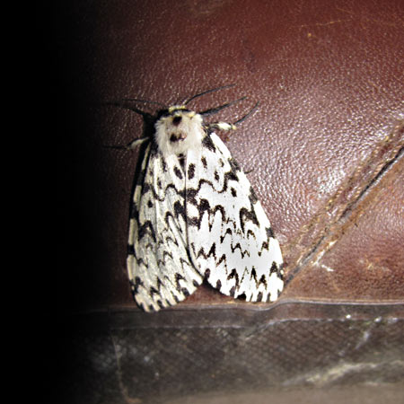 Black Arches moth