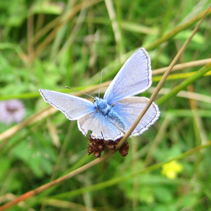 The butterfly, correctly identified as a Male Common Blue (Polyommatus icarus)
