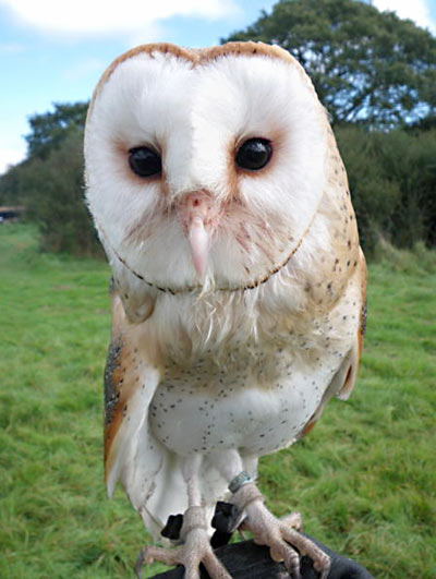Salt, the Barn Owl