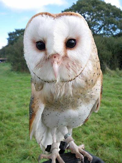 Salt, the Barn Owl