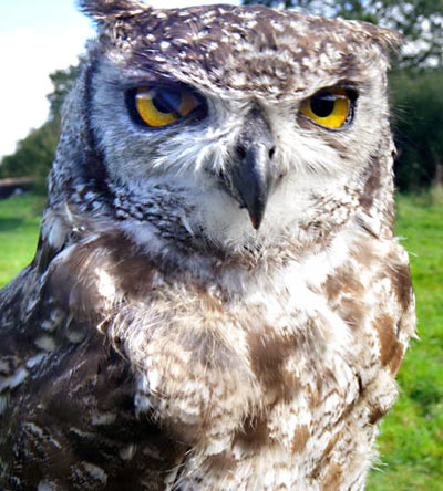 Charli, the African Spotted Eagle Owl