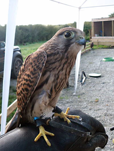Twilight, the Kestrel