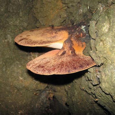 Beefsteak Fungus (Fistulina hepatica)