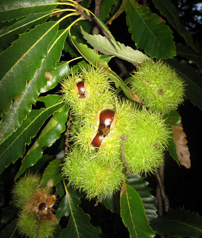 Ripe chestnuts peeking from their husks