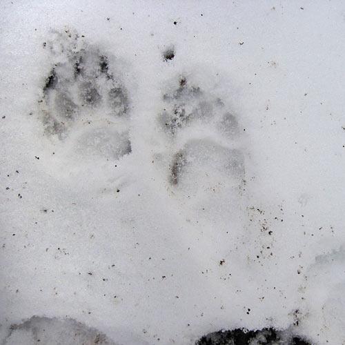 A badger track