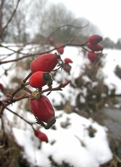 Rose hips (or haws) - the fruit of the rose plant