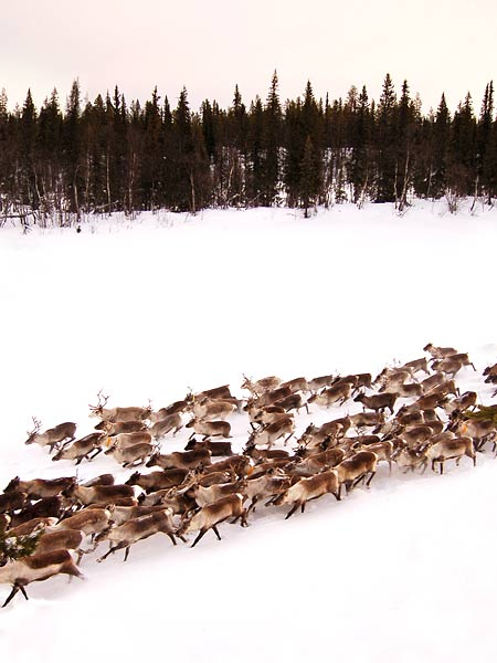 The Sami people herding their reindeer past the camp in 2008