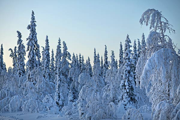 The boreal forest of Northern Sweden at sunrise