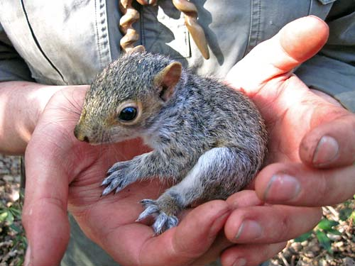A squirrel pup found at the course site