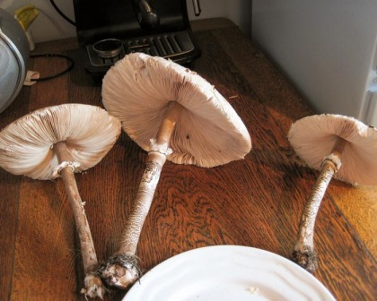 Parasol mushrooms (Macrolepiota procera)