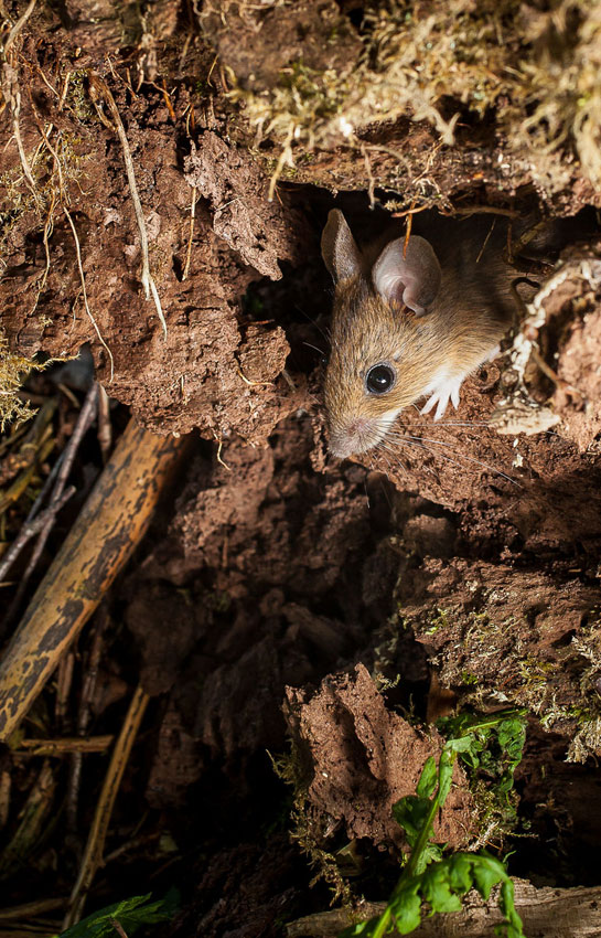 The common wood mouse