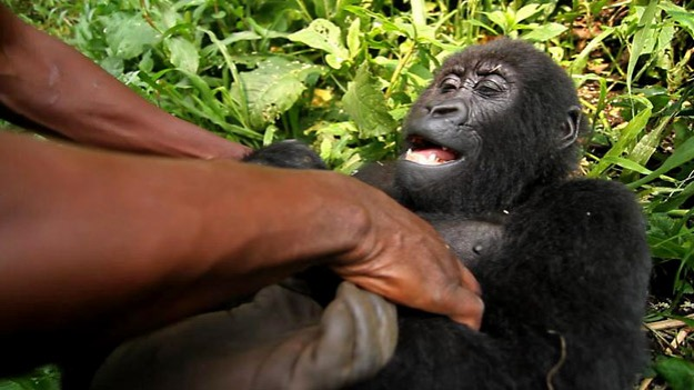 VIRUNGA-Movie-Still-Gorilla