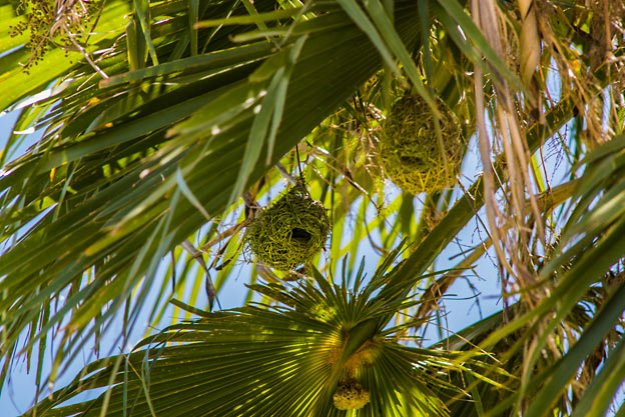 Southern masked weaver bird nests