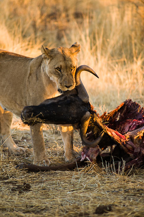 A blue wildebeest falls victim to a pride of lions