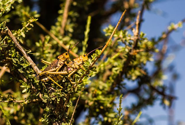 Milkweed locusts mating