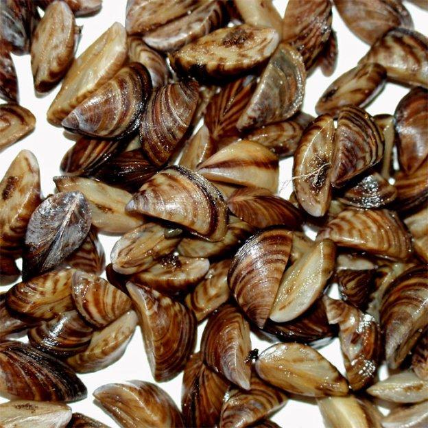 Zebra-Mussels